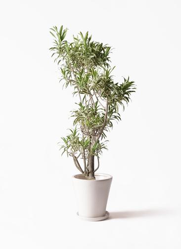 観葉植物 ドラセナ ソング オブ インディア 8号 サブリナ 白 付き