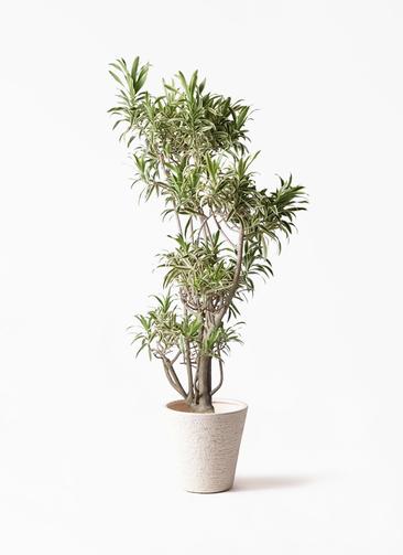 観葉植物 ドラセナ ソング オブ インディア 8号 ビアスソリッド 白 付き