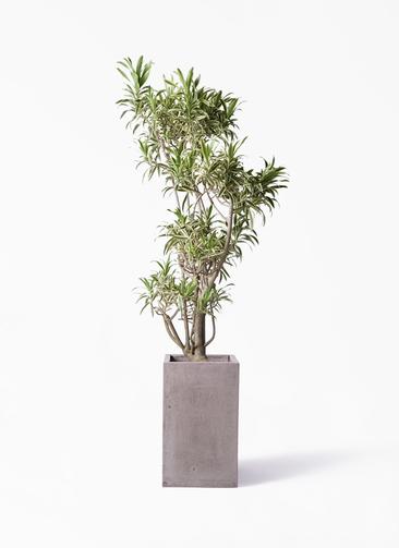 観葉植物 ドラセナ ソング オブ インディア 8号 セドナロング グレイ 付き