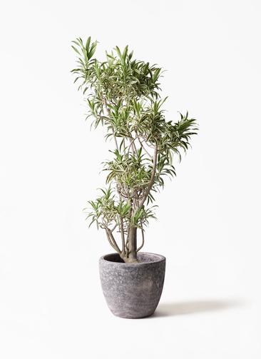観葉植物 ドラセナ ソング オブ インディア 8号 アビスソニアミドル 灰 付き