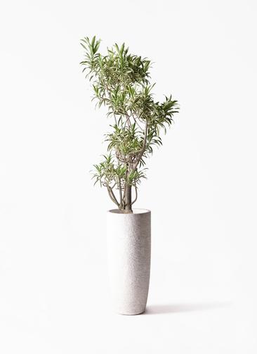 観葉植物 ドラセナ ソング オブ インディア 8号 エコストーントールタイプ white 付き