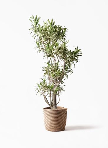 観葉植物 ドラセナ ソング オブ インディア 8号 リブバスケットNatural 付き
