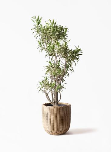観葉植物 ドラセナ ソング オブ インディア 8号 ウィッカーポットエッグ ベージュ 付き