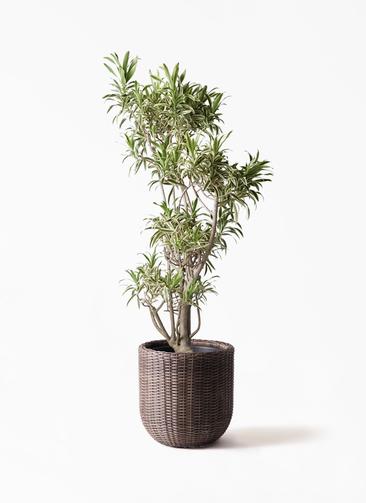 観葉植物 ドラセナ ソング オブ インディア 8号 ウィッカーポットエッグ 茶 付き