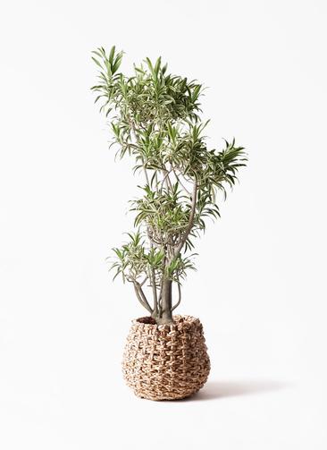 観葉植物 ドラセナ ソング オブ インディア 8号 ラッシュバスケット Natural 付き