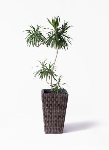 観葉植物 ドラセナ ナビー 8号 L字 ウィッカーポット スクエアロング OT 茶 付き