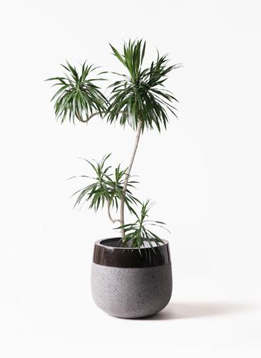 観葉植物 ドラセナ ナビー 8号 L字 ファイバーストーンタウルス 黒 付き