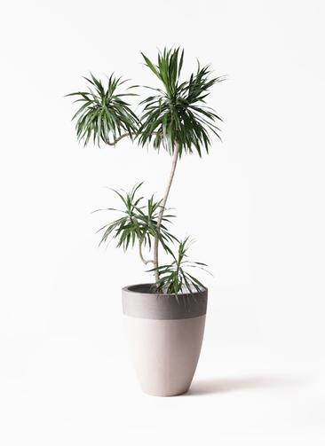 観葉植物 ドラセナ ナビー 8号 L字 ファイバーストーンカプリ サンディホワイト 付き