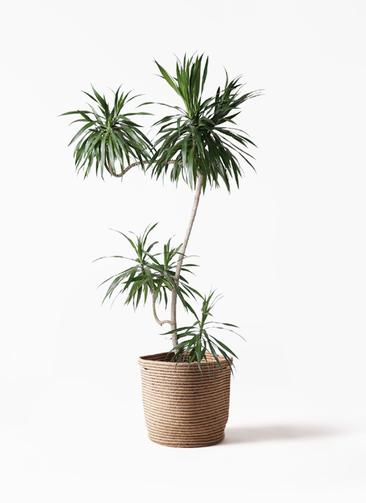 観葉植物 ドラセナ ナビー 8号 L字 リブバスケットNatural 付き
