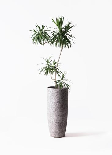 観葉植物 ドラセナ ナビー 8号 L字 エコストーントールタイプ Gray 付き