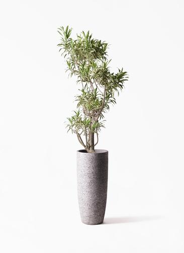 観葉植物 ドラセナ ソング オブ インディア 8号 エコストーントールタイプ Gray 付き