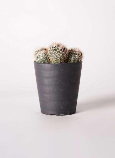 ノトカクタス 紅小町・小町(べにこまち・こまち) 3号 プラスチック鉢