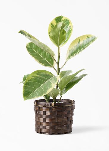 観葉植物 フィカス アルテシーマ 4号 ストレート 竹バスケット付き