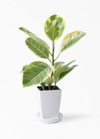観葉植物 フィカス アルテシーマ 4号 ストレート プラスチック鉢