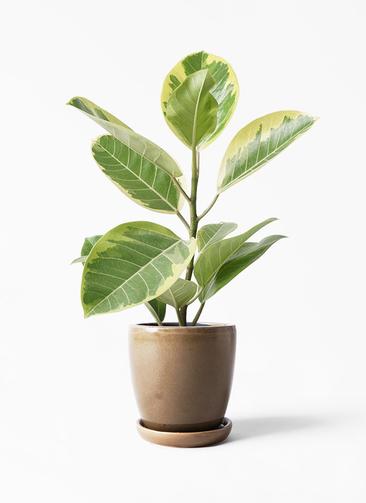 観葉植物 フィカス アルテシーマ 4号 ストレート アステア トール ブラウン 付き