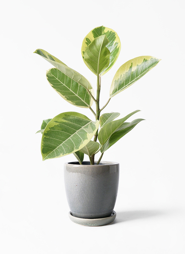 観葉植物 フィカス アルテシーマ 4号 ストレート アステア トール ライトグレー 付き