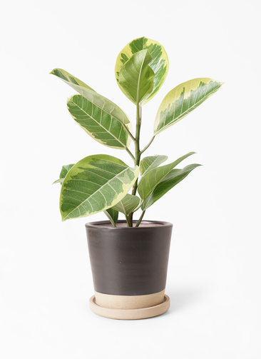 観葉植物 フィカス アルテシーマ 4号 ストレート マット グレーズ テラコッタ ブラック 付き