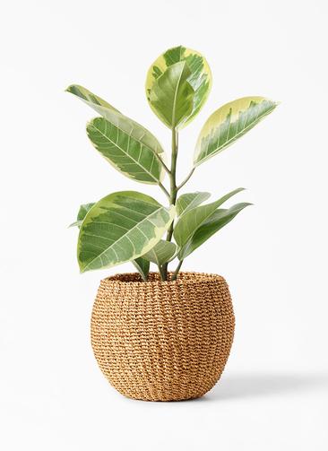 観葉植物 フィカス アルテシーマ 4号 ストレート アバカバスケット タン 付き