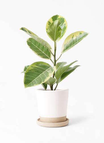 観葉植物 フィカス アルテシーマ 4号 ストレート マット グレーズ テラコッタ ホワイト 付き