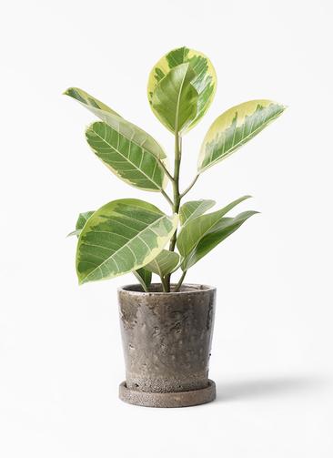 観葉植物 フィカス アルテシーマ 4号 ストレート ヴィフポット ダークグレー 付き