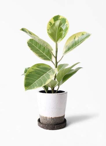 観葉植物 フィカス アルテシーマ 4号 ストレート ヴィフポット ホワイト 付き