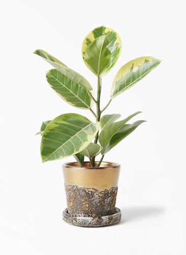 観葉植物 フィカス アルテシーマ 4号 ストレート ハレー ブロンズ 付き