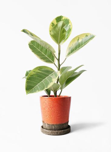 観葉植物 フィカス アルテシーマ 4号 ストレート ヴィフポット オレンジ 付き