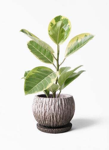 観葉植物 フィカス アルテシーマ 4号 ストレート ストーン ウェア セラミック 付き