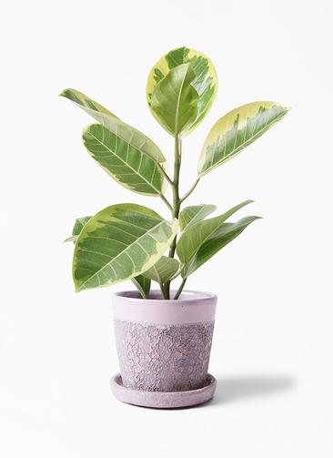 観葉植物 フィカス アルテシーマ 4号 ストレート ハレー ピンク 付き