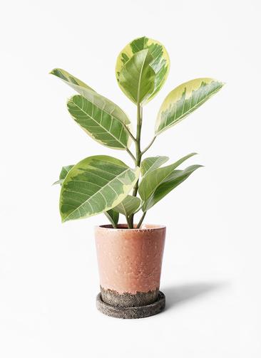 観葉植物 フィカス アルテシーマ 4号 ストレート ヴィフポット サーモンピンク 付き