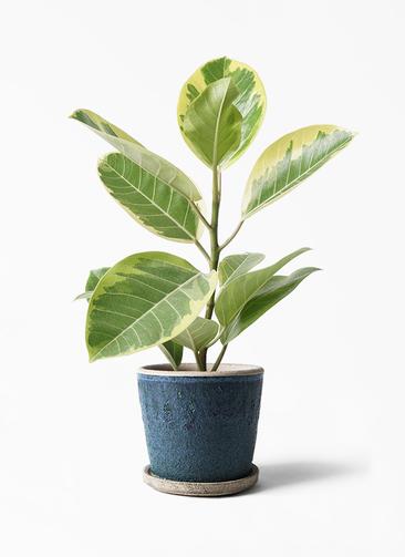 観葉植物 フィカス アルテシーマ 4号 ストレート フェイバーポット ブルー 付き