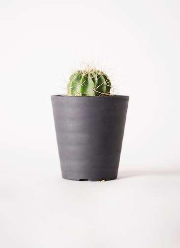 サボテン アカントカリキュウム 紫盛丸(しせいまる) 3号 プラスチック鉢