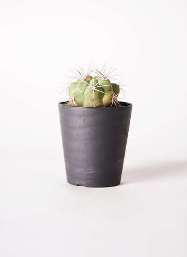 ギムノカリキウム 新天地錦(しんてんちにしき) 3号 プラスチック鉢