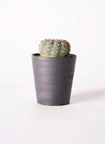 ギムノカリキウム 瑞昌玉(ずいしょうぎょく) 3号 プラスチック鉢