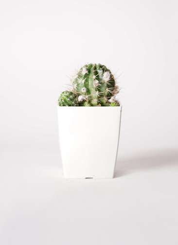 サボテン ロビビア 桃鮮丸(ももせんまる) 3号 プラスチック鉢