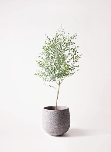 観葉植物 ユーカリ 6号 グニー エコストーンGray 付き
