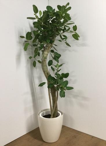 観葉植物 【185cm】フィカス ベンガレンシス 10号 曲り #21752