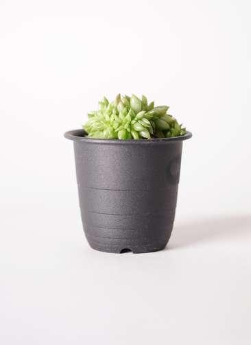 エケベリア 鯱(しゃち) 3号 プラスチック鉢