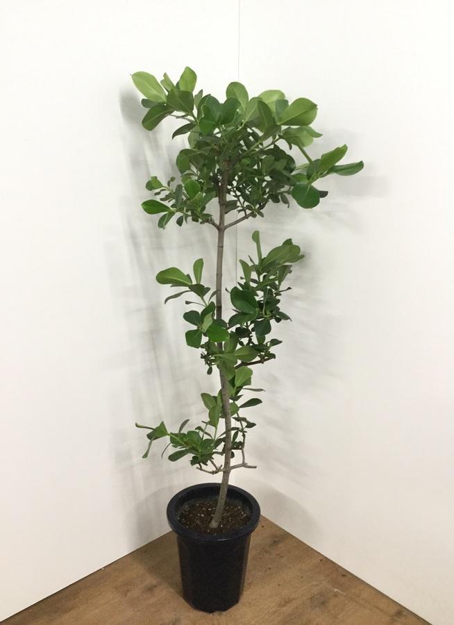 観葉植物 【170cm】クルシア・ロゼア 10号 #21762