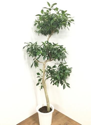 観葉植物 【190cm】フィカス ジャンボリーフ 10号 #21763 ※1都3県配送限定商品