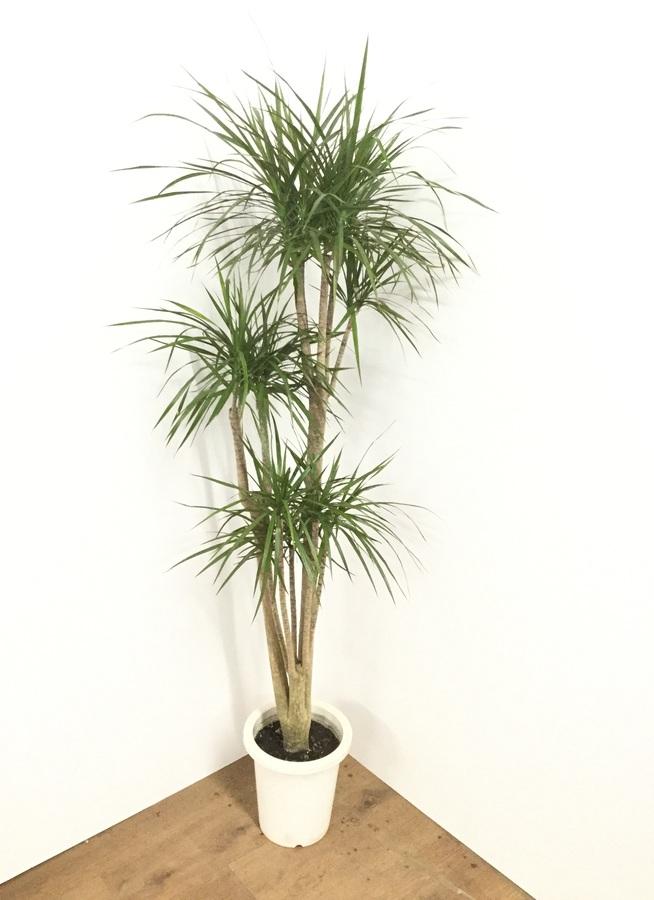 観葉植物 【160cm】ドラセナ コンシンネ 8号 #21764