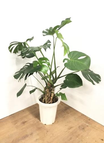 観葉植物 【100cm】モンステラ 8号 根上り #21765