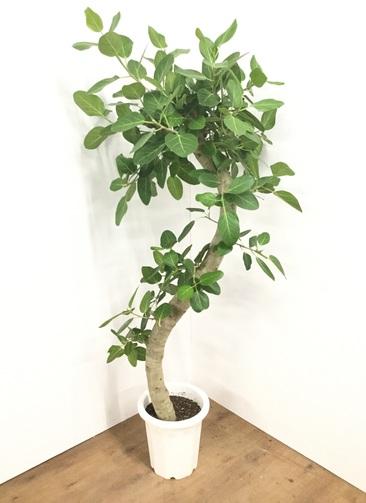 観葉植物 【180cm】フィカス ベンガレンシス 10号 曲り #21768
