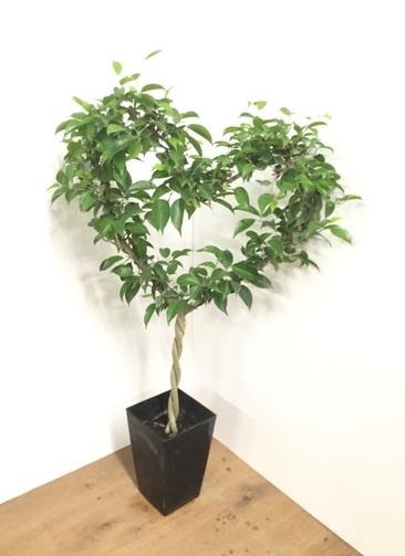 観葉植物 【90cm】フィカス  ベンジャミン 6号 ハート仕立て #21769