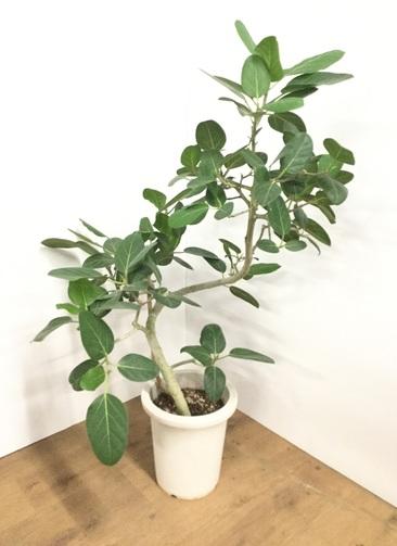 観葉植物 【100cm】 フィカス ベンガレンシス 8号 曲り #21770