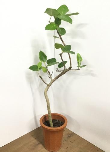 観葉植物 【115cm】 フィカス アルテシーマ 8号 曲り #21771