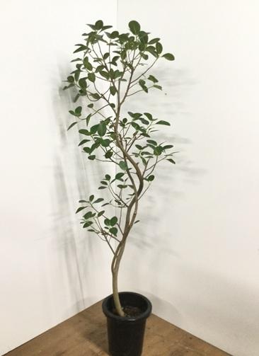 観葉植物 【160cm】 フランスゴムの木 8号 曲り #21777