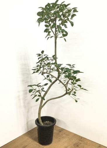 観葉植物 【150cm】フランスゴムの木 8号 #21781