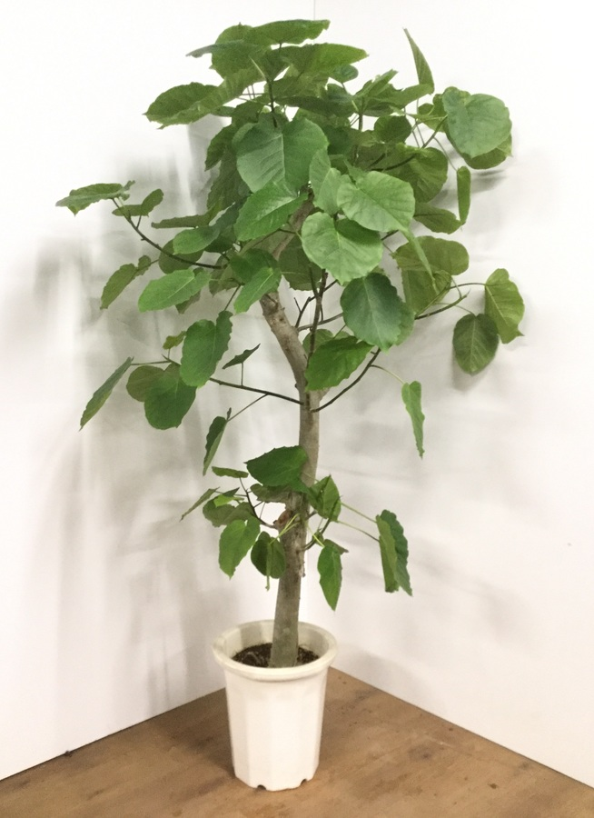 観葉植物 【170cm】フィカス ウンベラータ 10号 #21782