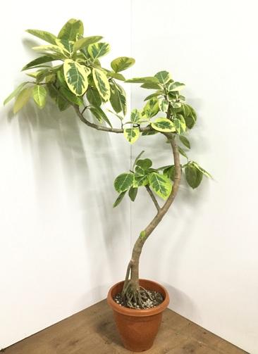 観葉植物 【150cm】フィカス アルテシーマ 10号 曲り #21787 ※1都3県配送限定商品
